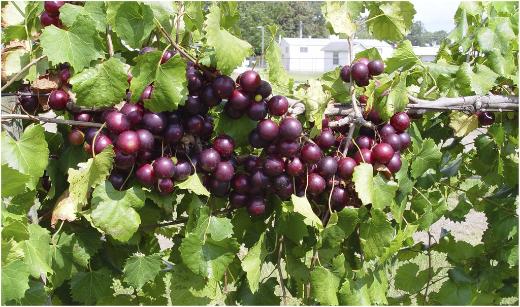 UGA researchers released new red 'RubyCrisp' muscadine variety for those who want a sweet berry flavor with just a hint of muscadine.