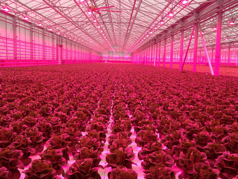 Lettuce is grown under red LED lights at a research greenhouse. U.S. growers spend about $600 million per year on electricity for lighting in their greenhouses and plant factories. (Photo by Neil Mattson)