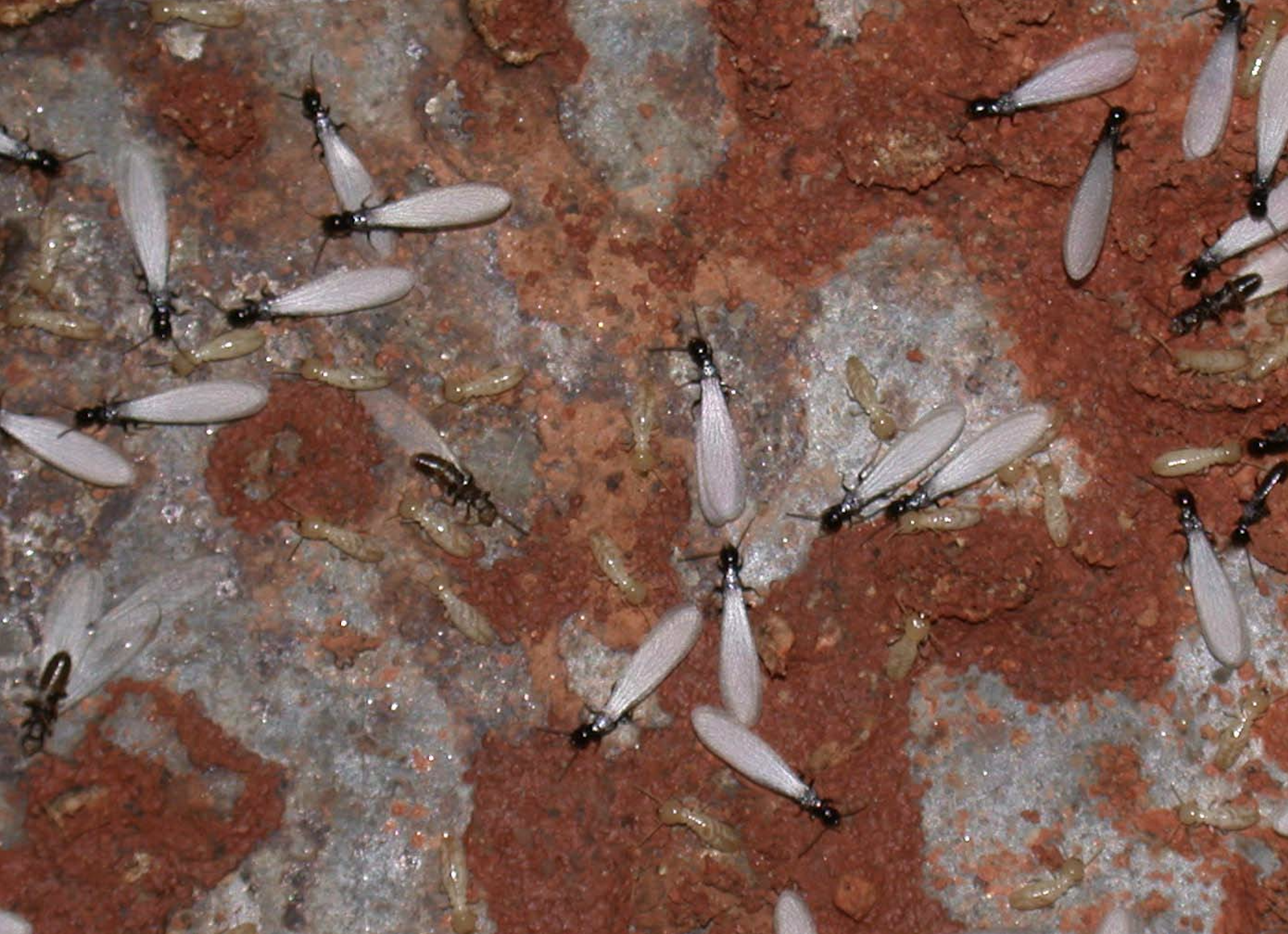 Subterranean termite swarmers are most commonly seen in spring and are a telltale sign of termite infestation. (Photo by Brian Forschler)