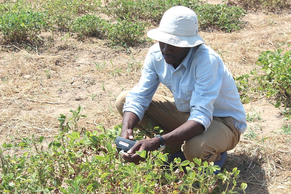 Ivan Chapu, a graduate student at Makerere University in Uganda, uses handheld sensors to evaluate peanuts growing in the field. Scientists in three countries are using the sensors as part of a Peanut Innovation Lab project to speed up the process of assessing peanut varieties for various traits. The work could help peanut breeders in their work to create varieties resistant to disease and resilient to climate shocks. (Photo provided by Ivan Chapu)