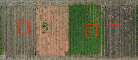Test plots at the the J. Phil Campbell Research Farm located near Watkinsville, Georgia, show (from left) cereal rye, no cover crop, living white clover mulch and crimson clover approximately three weeks after cotton planting. Areas in red indicate where Palmer amaranth seed was planted and will be monitored for suppression and reproduction over the next several years.