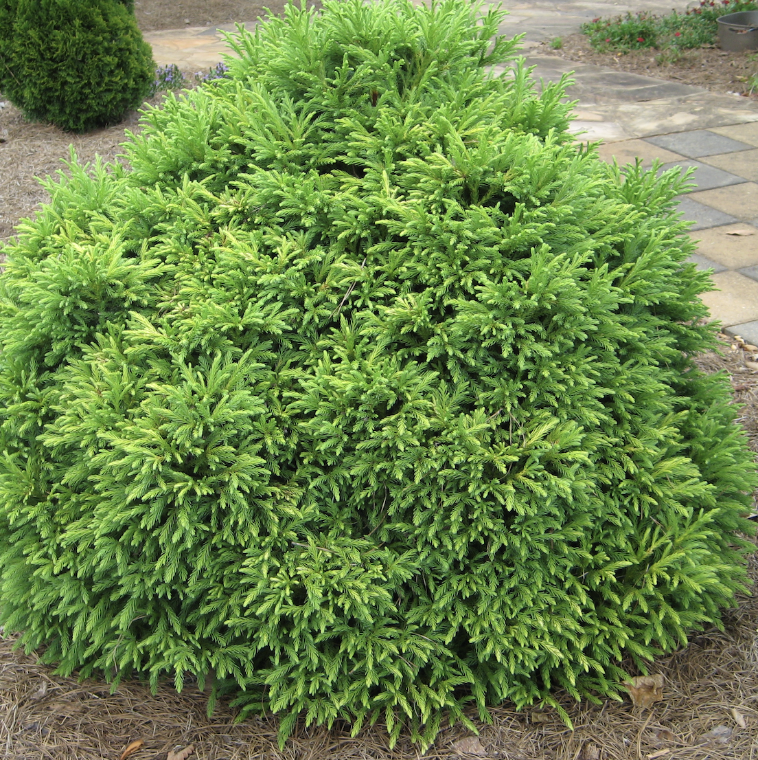 Cryptomeria japonica 'Globosa Nana' is a small shrub that keeps its round form without pruning. Be sure to get the correct cultivar, as Cryptomeria japonica is typically a tall pyramidal tree.