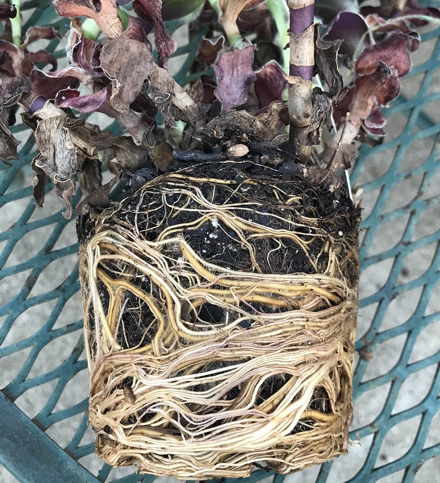 These roots are dense, matted and circling the pot. They will need to be loosened prior to planting to encourage rooting into the surrounding soil.