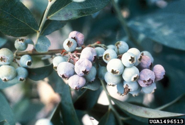 Blueberry Fungus