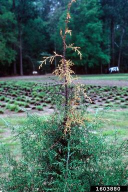 The key with stem and branch diseases is to scout susceptible plants frequently — such as for Seridium canker shown here on Monterey cypress — and catch the problem early. Often, the only solution is to prune out the affected portions of the plant to limit spread.