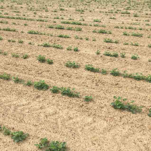 """Skippy stands"" have been more prevalent this summer, which may increase the incidence of tomato spotted wilt virus infection. (Photo by Phillip Edwards, Irwin County)"