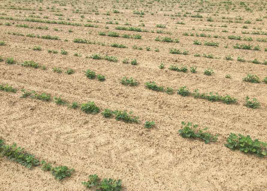 """""""Skippy stands"""" have been more prevalent this summer, which may increase the incidence of tomato spotted wilt virus infection. (Photo by Phillip Edwards, Irwin County)"""