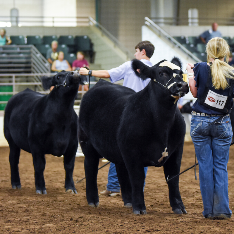 Georgia 4-H and FFA youth compete in the Junior Beef Futurity Competition.