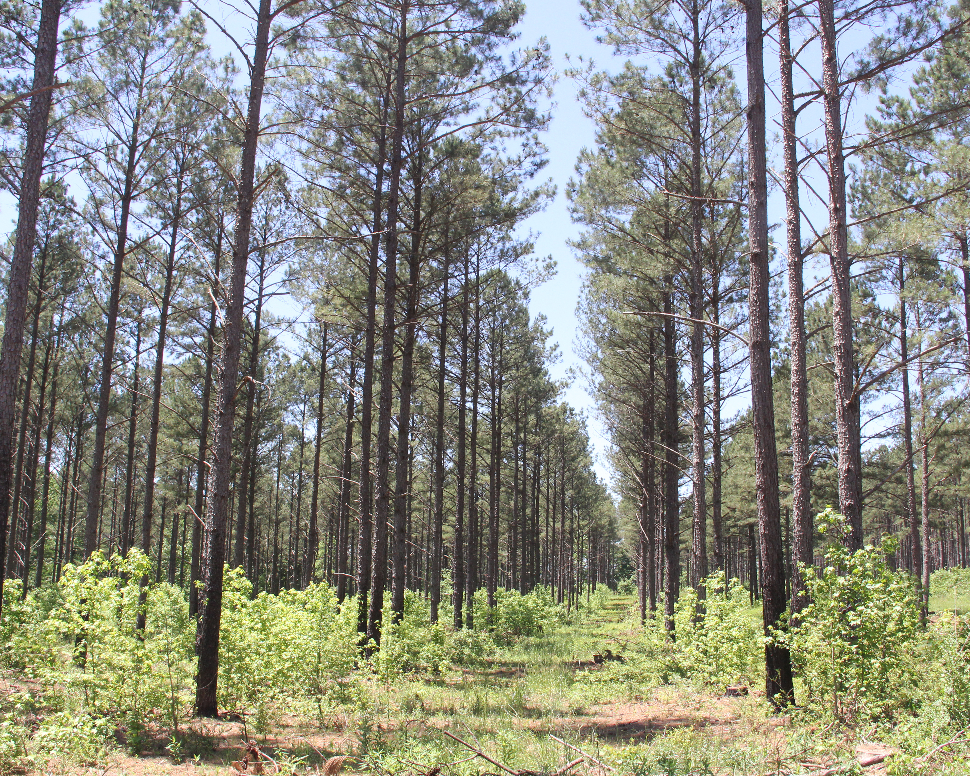 Pine trees on the UGA Westbrook Farm in Griffin, Ga. (file photo)