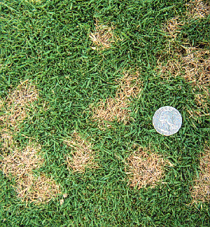 Symptoms of dollar spot include circular discolorations only a few inches in diameter. Spots may run together causing large, irregular patterns.