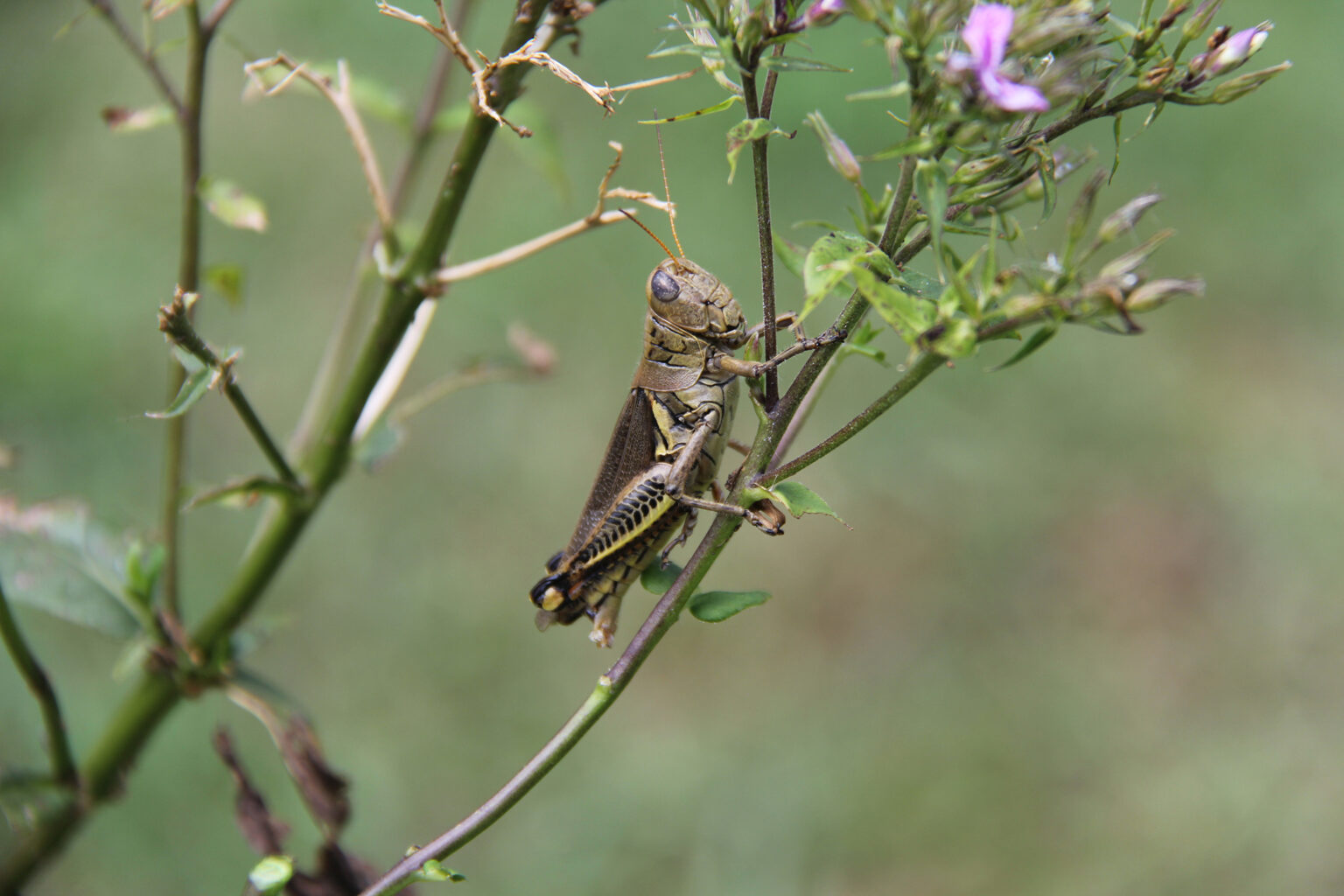 Grasshopper (file photo by Sharon Dowdy)