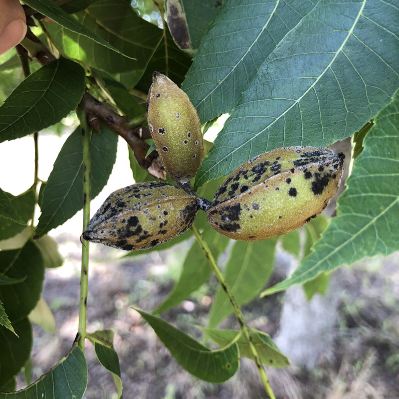 Pecan scab fungus (Fusicladium effusum) is the most destructive disease of pecans in Georgia.