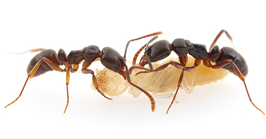 Asian needle ants often prey on termites and other insects.