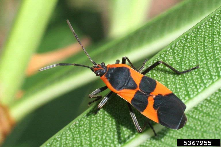 Large milkweed bugs feed on the seeds and stems of milkweed. (photo by Russ Ottens, University of Georgia, Bugwood.org)