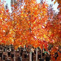 Proceeds from the sale, including trees like this 'October Glory' red maple, benefit the UGA Horticulture Club.