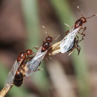 A trio of winged fire ants perched on a branch.