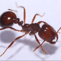Fire ant supergene