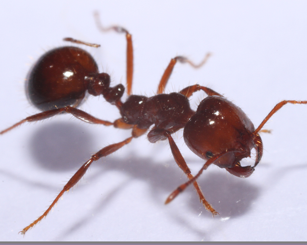 A supergene is a collection of neighboring genes located on a chromosome that are inherited together due to close genetic linkage. Studying these unique genes is important to understanding the potential causes for differences among the social structure of fire ants, specifically for controlling the species and building upon the existing knowledge base.