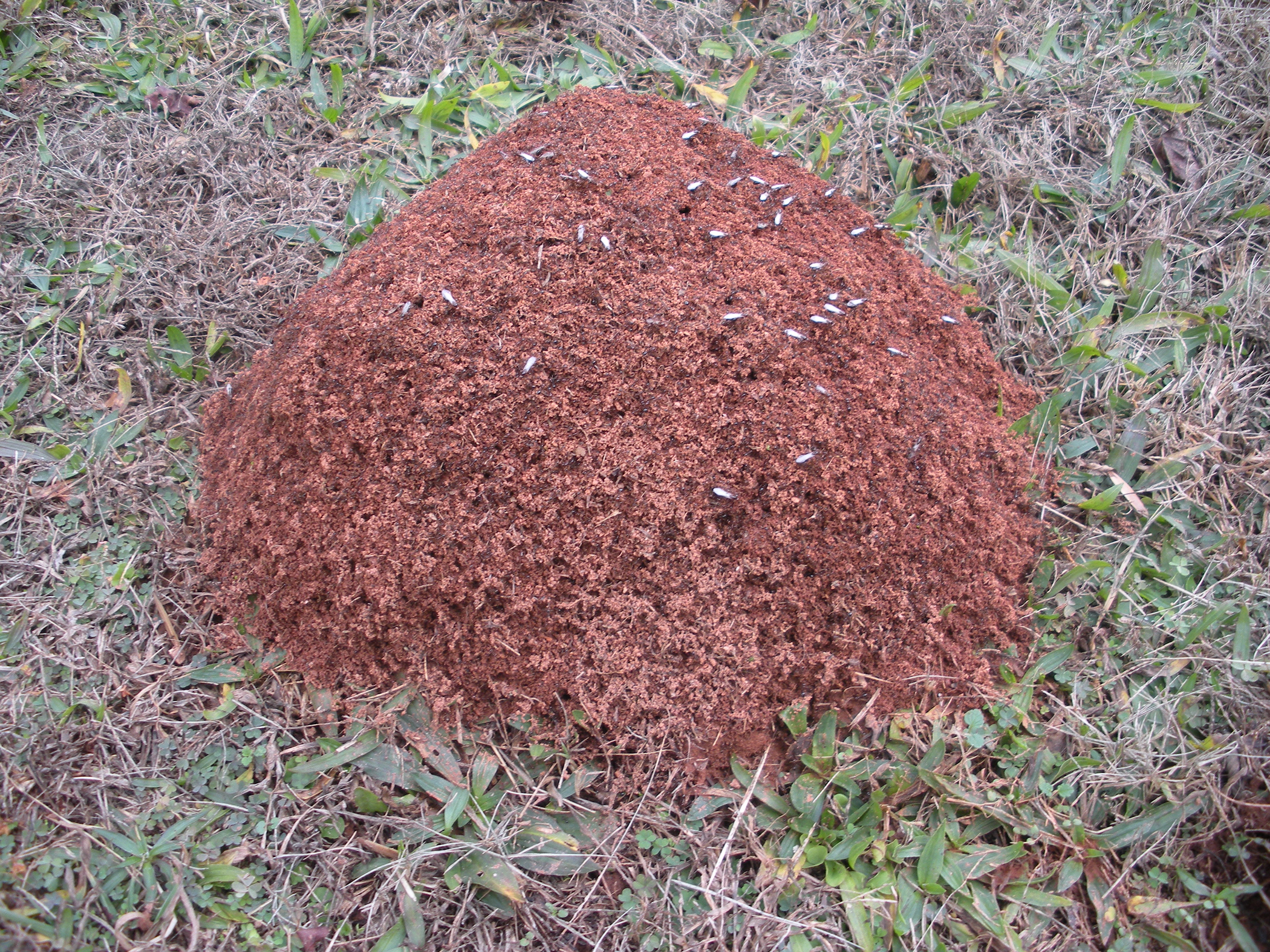 Researchers compared the supergene's impact on the fire ants' two primary types of social structures: monogyne, which is reproduction from queens that form a new nest, and pologyne, reproduction from queens that join an existing nest.