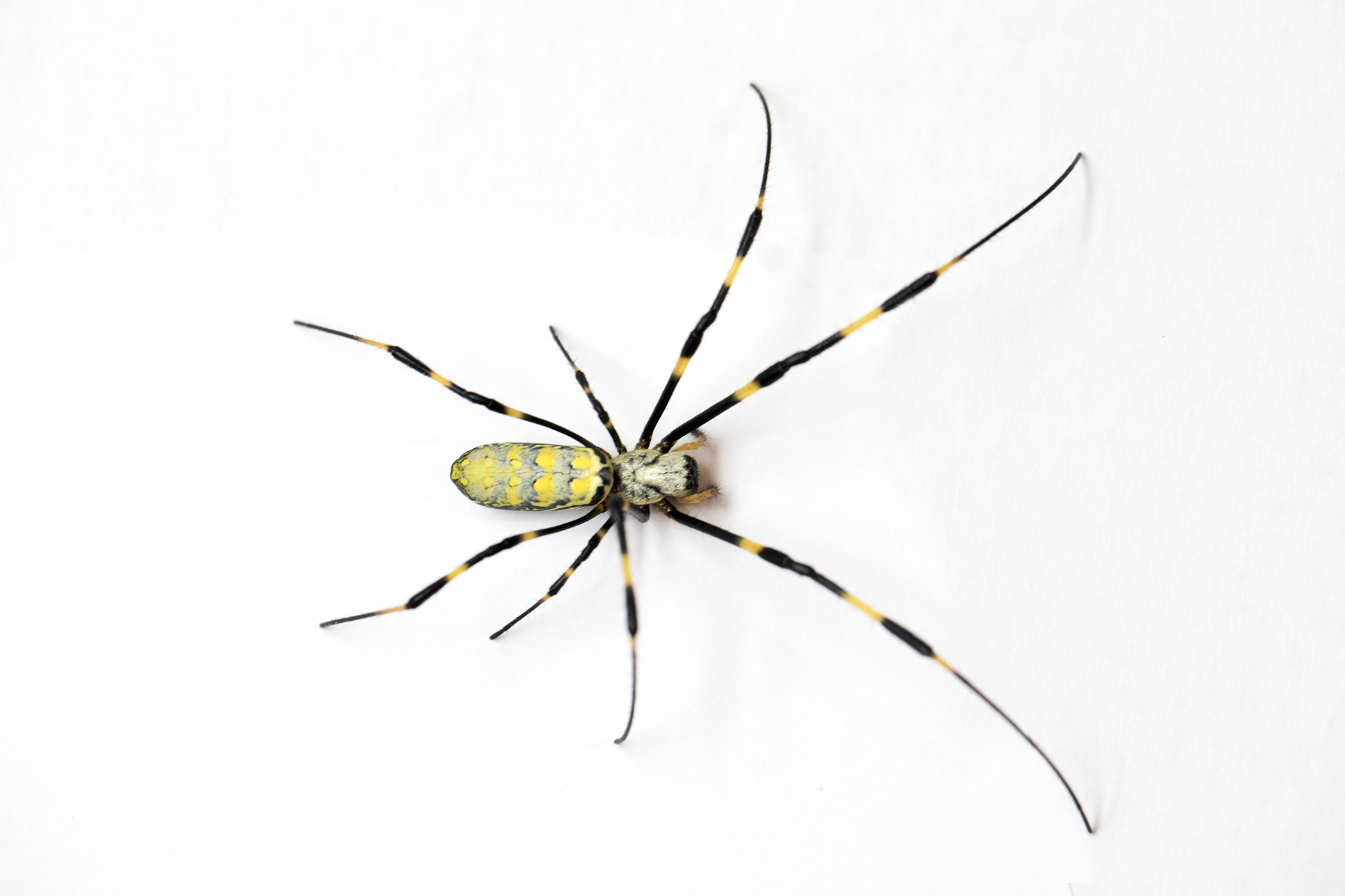 Joro spiders, which can be nearly 3 inches across when their legs are fully extended, are roughly the same size as banana spiders and yellow garden spiders, but they have distinctive yellow and blue-black stripes on their backs and bright red markings on their undersides, which are unique.