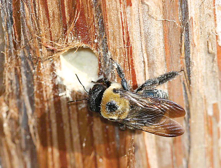 Carpenter bees resemble bumblebees but have a couple of noticeable differences. The upper surface of the carpenter bee's abdomen is bare, shiny and black. Bumblebees have a hairy abdomen with at least some yellow markings.