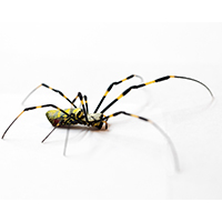 Joro spiders, which can be nearly 3 inches across when their legs are fully extended, are roughly the same size as banana spiders and yellow garden spiders, but they have distinctive yellow and blue-black stripes on their backs and bright red markings on their undersides which are unique.