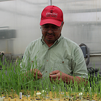 Mohamed Mergoum, the Georgia Seed Development-UGA Foundation Professor in Wheat Breeding and Genetics at the Institute of Plant Breeding, Genetics and Genomics, examines wheat seedlings in the greenhouse at the UGA Griffin campus.