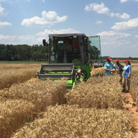 Professor Mohamed Mergoum and members of his research team harvest test wheat plots in Griffin.