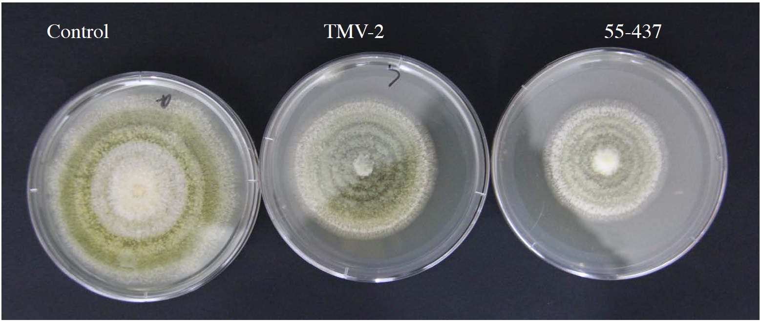 A Peanut Innovation Lab project at Texas Tech University is working to track the chemicals in the seed coats of some peanuts that make them more resistant to A. flavus, the fungus that produces aflatoxin. Here, an experiment shows the radial growth of A. flavus after either days with the ground seed coat from two peanut lines, 55-437 and TMV-2.