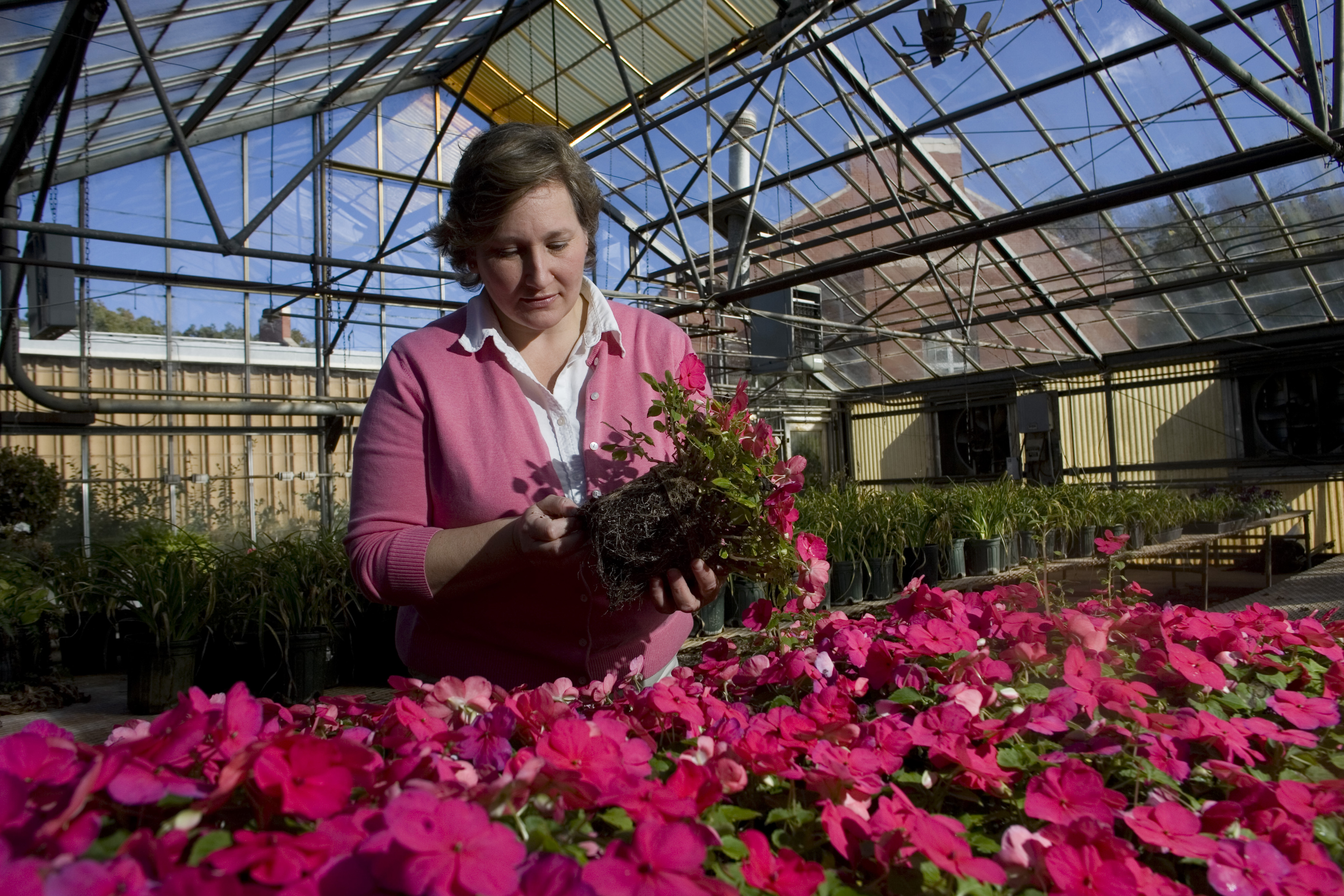 Jean Williams-Woodward, UGA CAES plant pathologist, examines impatience plant roots for signs of disease in greenhouse, Athens Campus, October 27, 2009.