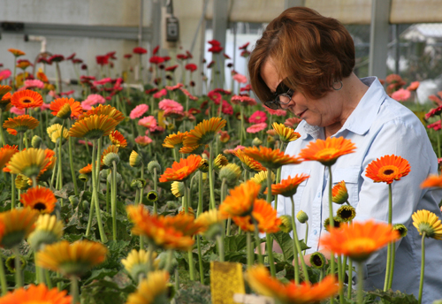 UGA Griffin campus research technician Sherrie Stevens counts leaf miner damage on Gerbera daisies in a greenhouse in Upson County, Ga.