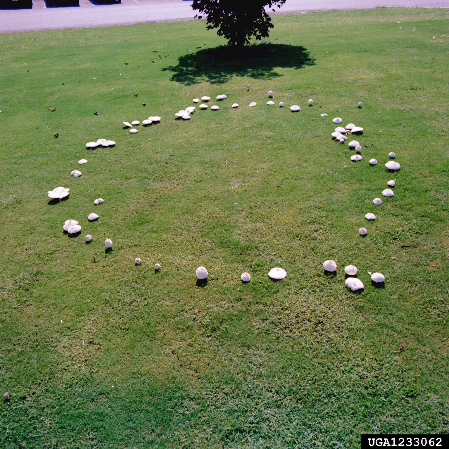 Growth of fairy ring fungi begin in the center of a ring and expand outward in a uniform, circular pattern over time. Mushrooms might only be visible during periods of wet weather, particularly in the fall.