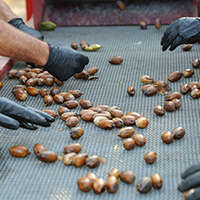 A new study by UGA researchers on postharvest storage quality of pecans might help Georgia's pecan producers in marketing to new consumers. Consumers, both domestically and internationally, are recognizing pecans for their health benefits, which include vitamins, minerals and essential fatty acids.