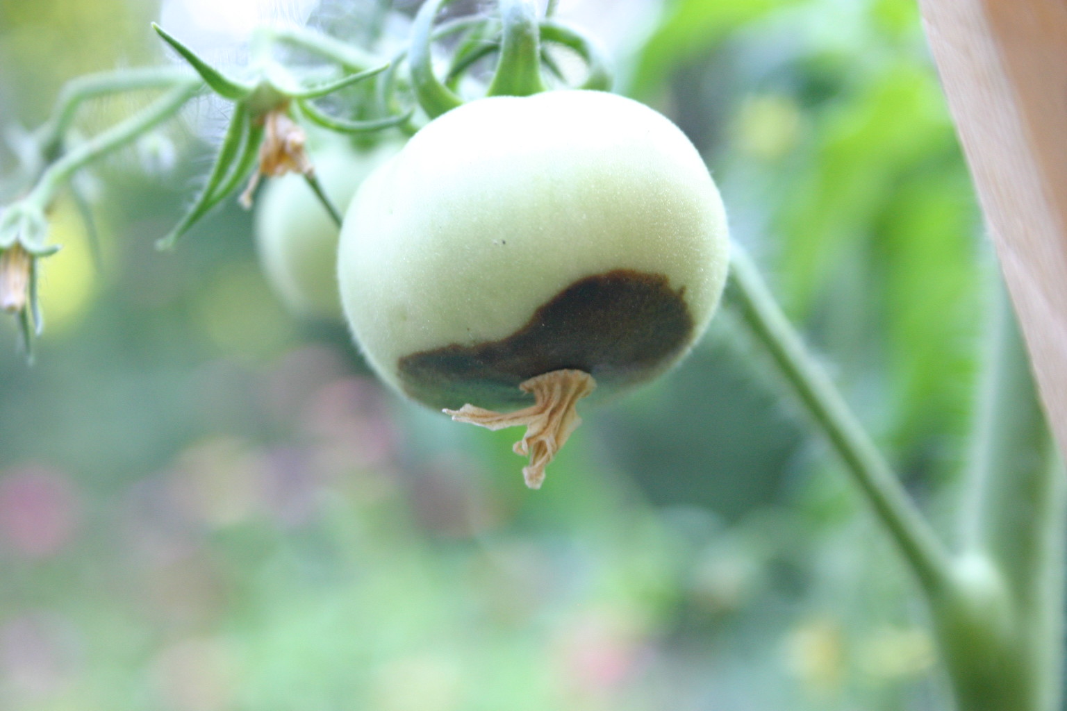 Blossom-end rot, which manifests in the first few weeks of growth after tomato flowers are pollinated, causes black, rotted areas on the blossom end of the fruit, opposite the stem.