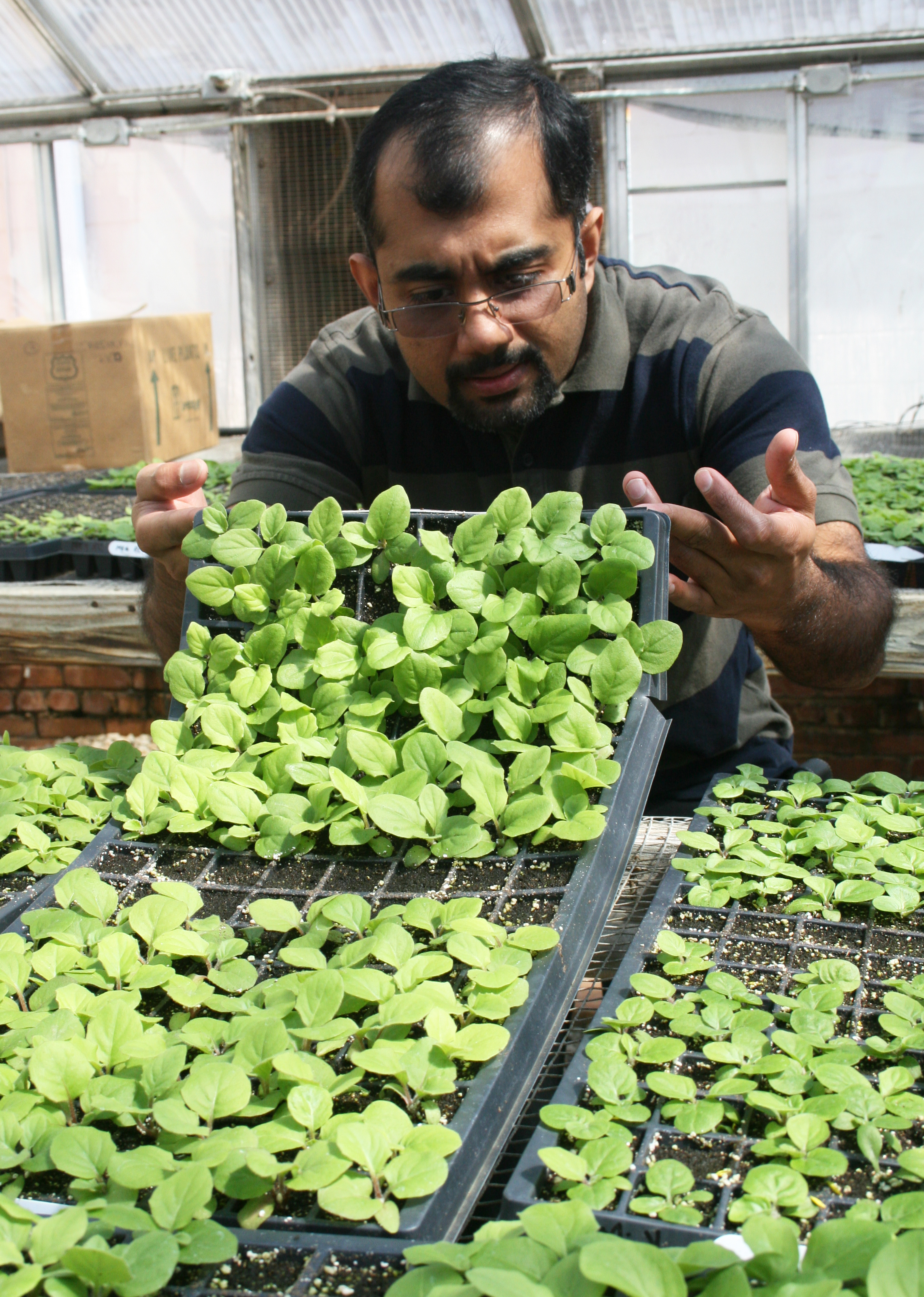 University of Georgia researcher Cheri Abraham inspects Gerbera daisy transplants for evidence of leaf miners.