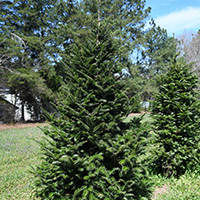 Momi fir has proven itself over the last 25 years as the only known fir species resistant to Phytophthora root disease and could make a good Christmas tree, ornamental and timber species.