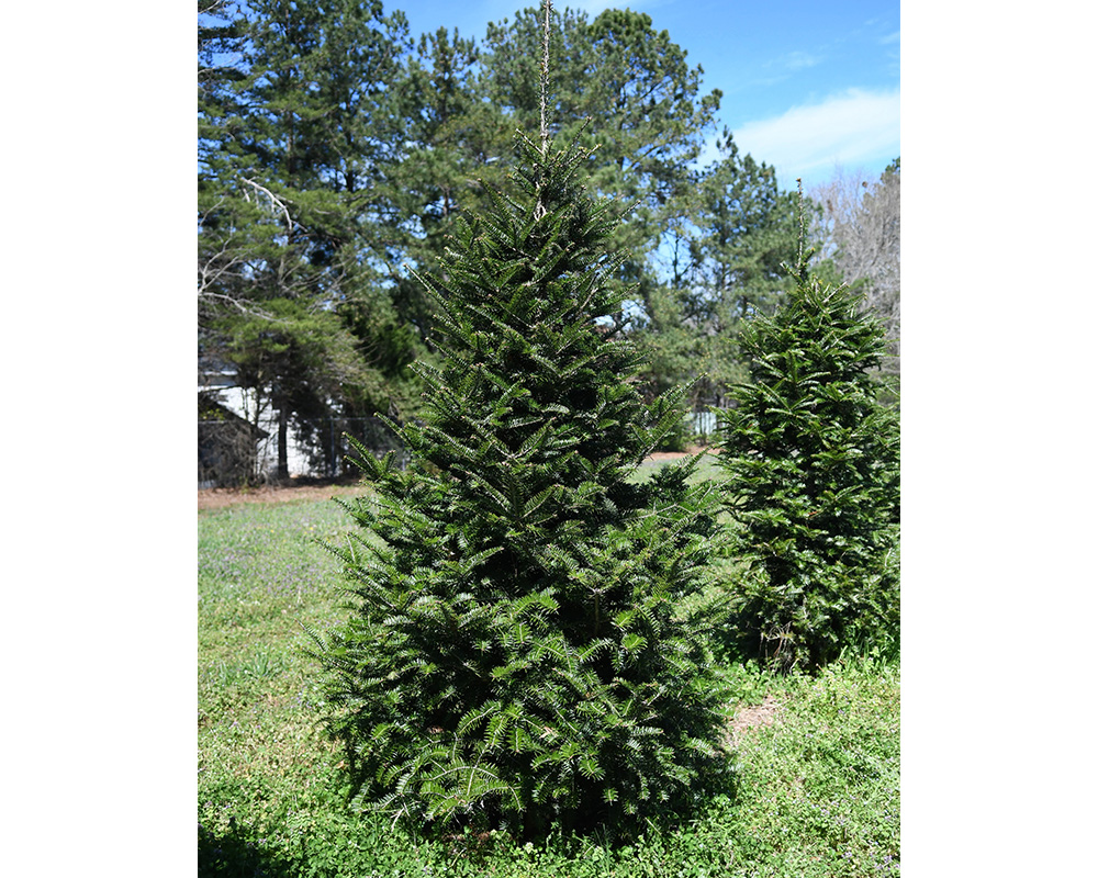 An eight-year-old Momi fir in a test plot on the UGA Griffin campus that is part of research by Mark Czarnota and his team to develop a heat-resistant, disease-resistant fir species for the Christmas tree, ornamental and timber industries.
