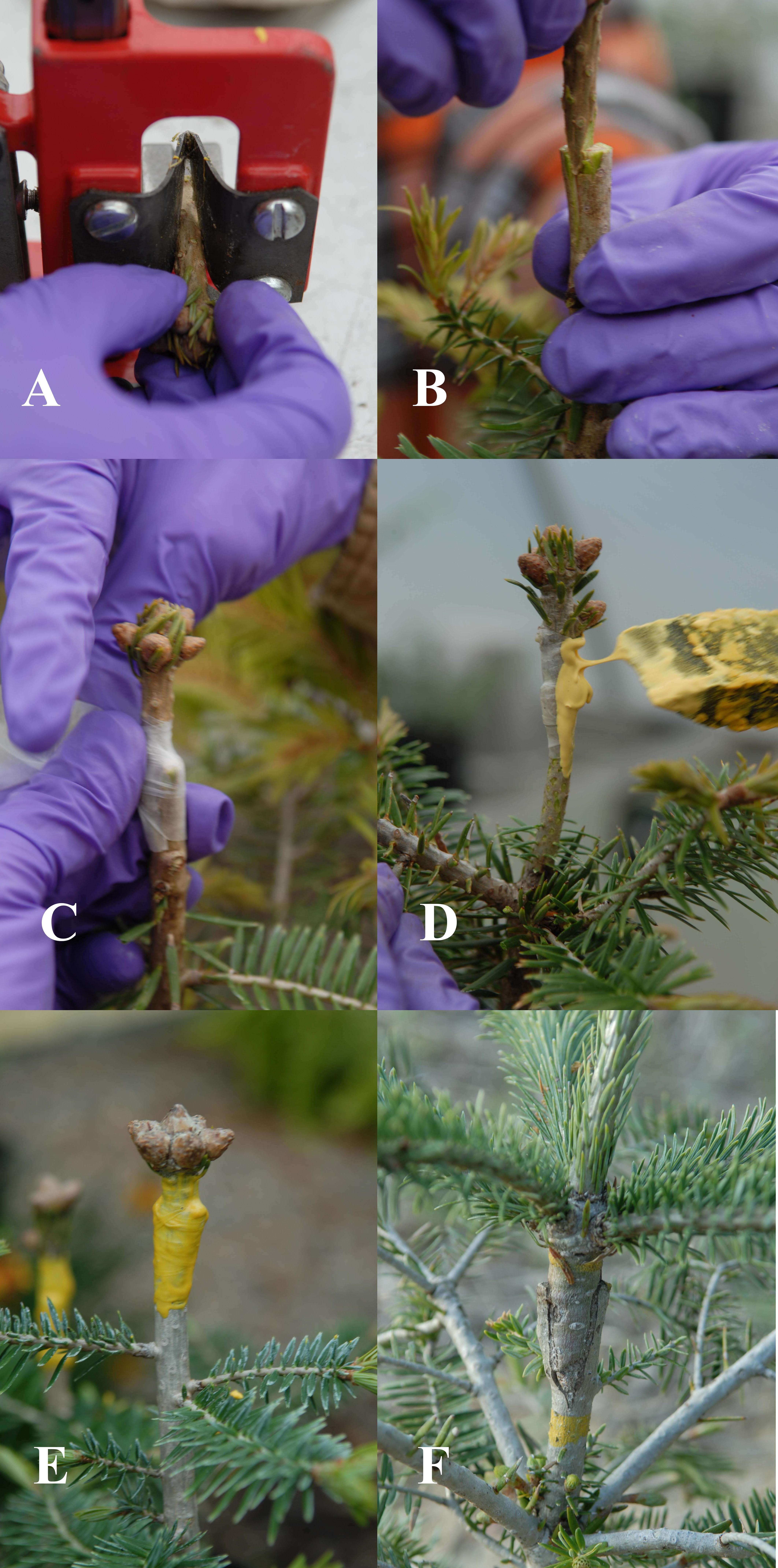 Because of the more desirable Christmas tree characteristics of Fraser fir, many growers have been grafting Fraser fir scion (shoot) wood to Momi fir rootstock.