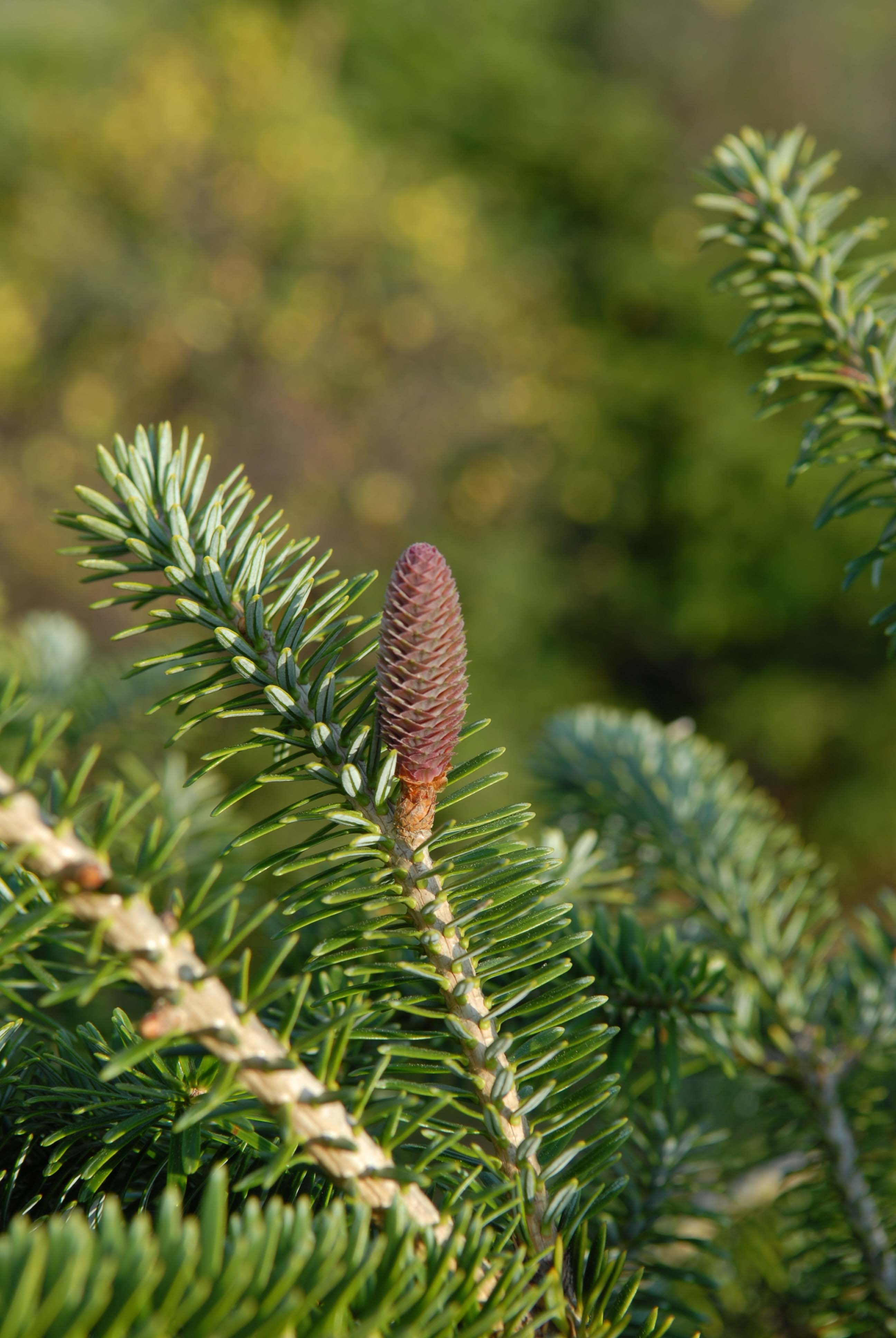 Immature female cones (seed cones) on Momi fir.