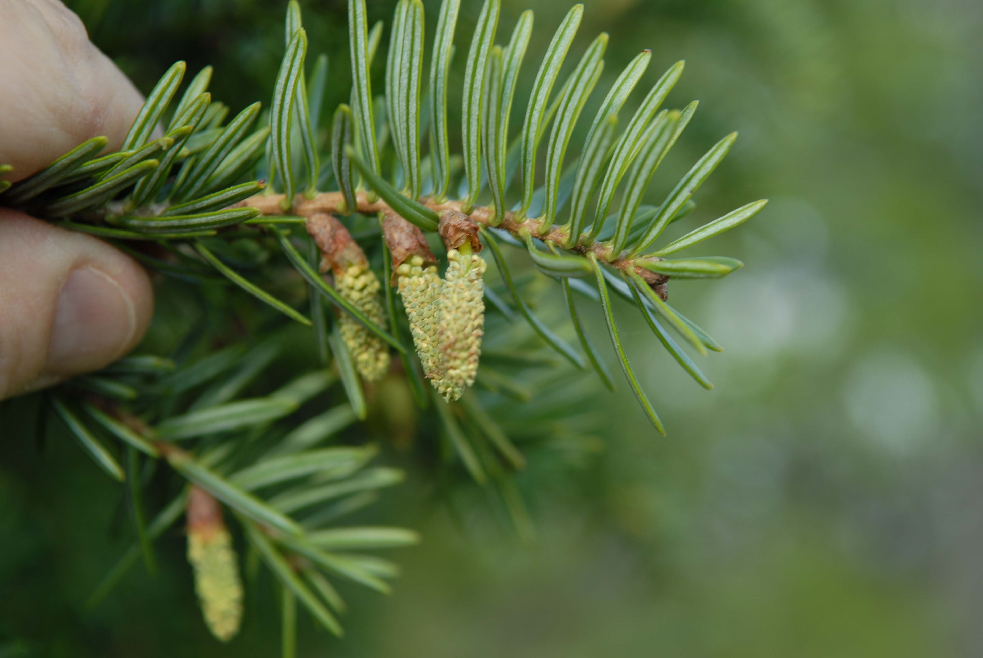 Male cones are observed releasing pollen on Momi fir.