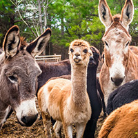 Donkeys and alpacas are among the animals served by the Sweet Olive Rescue Farm in Winterville, Georgia.