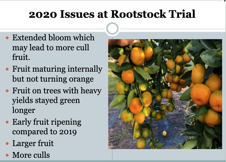 Ongoing citrus rootstock trials yield important year-after-year data that will benefit Georgia's citrus growers.