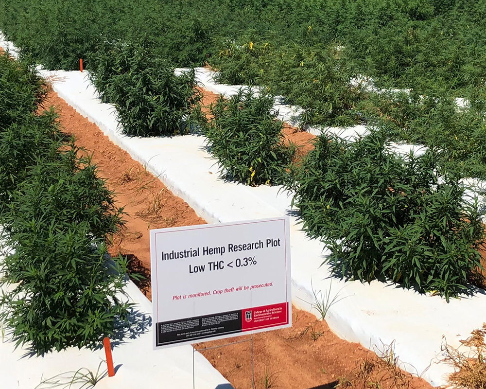 A survey conducted by UGA researchers examined whether respondents had any concern about the growing of hemp and the creation of hemp products in their area.