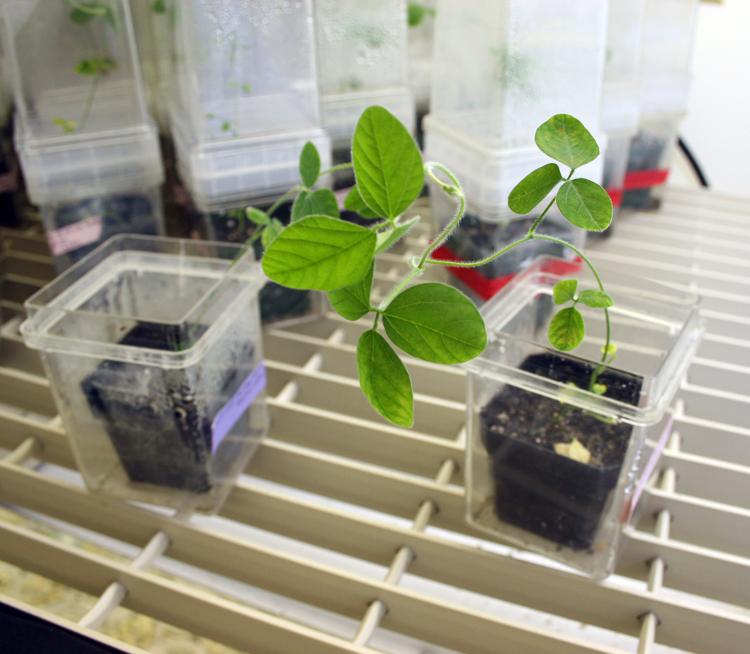 A soybean plant flourishes under the grow lights in Wayne Parrott's lab. Parrott is a crop and soil sciences professor at the University of Georgia College of Agricultural and Environmental Sciences.