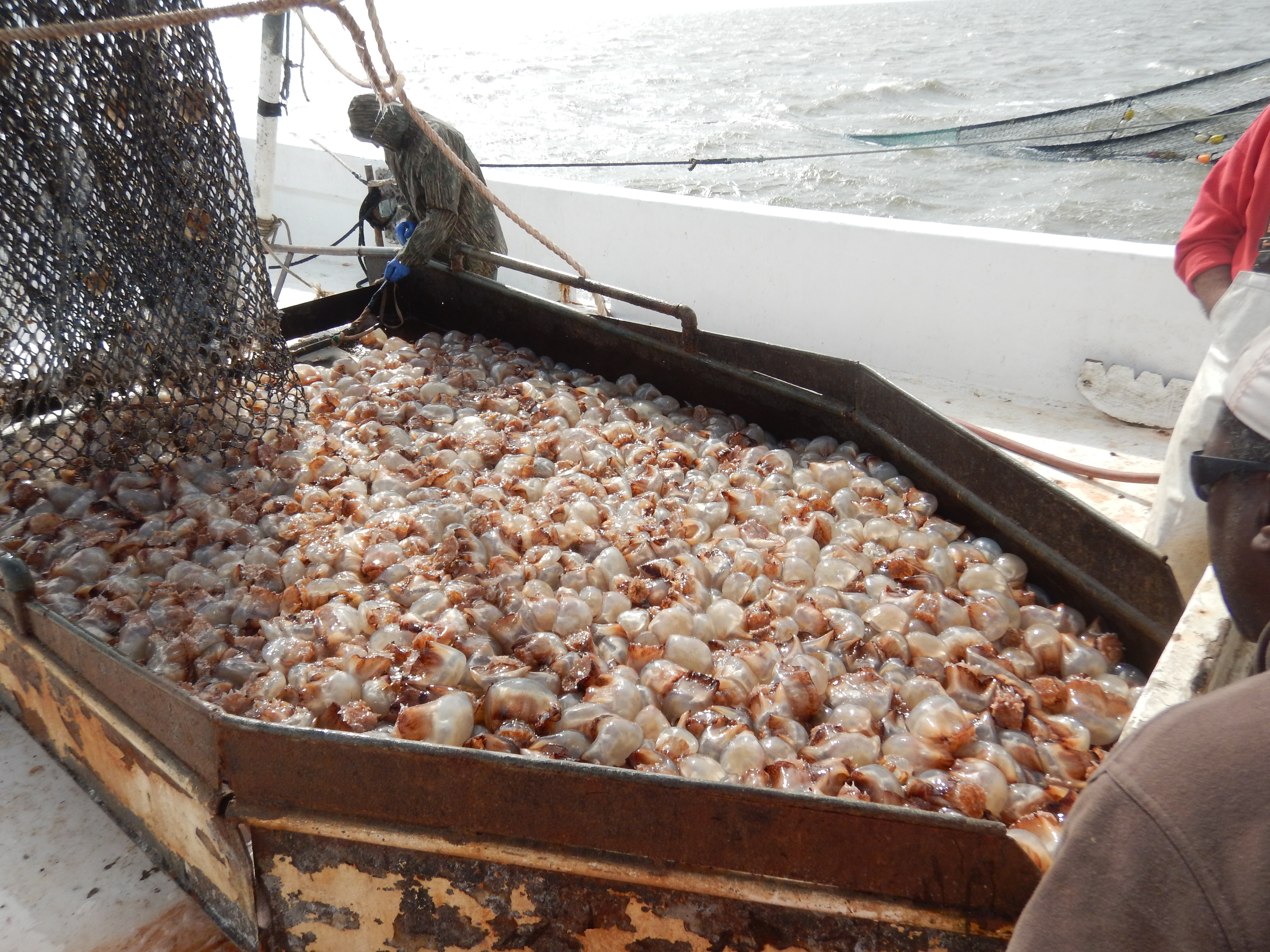 The net full of jellyfish is emptied onto the ship, as fisherman begin to process the haul.