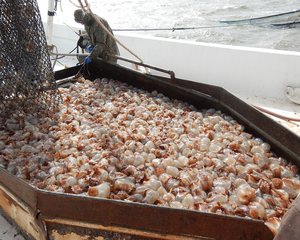 A net full of jellyfish is emptied onto the ship as fishermen begin to process the haul. (Photo by Bryan Fluech)