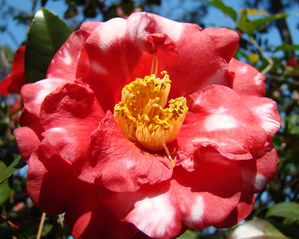 The camellia represents desire, passion and admiration — a wonderful choice for Valentine's Day.
