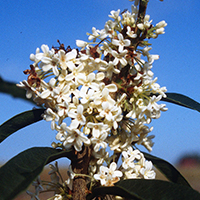 The tea olive's small, white flowers pack an incredible fragrance that will blanket your entire yard.