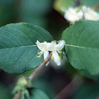 The winter honeysuckle's creamy white flowers are tinged with pink and extremely fragrant.