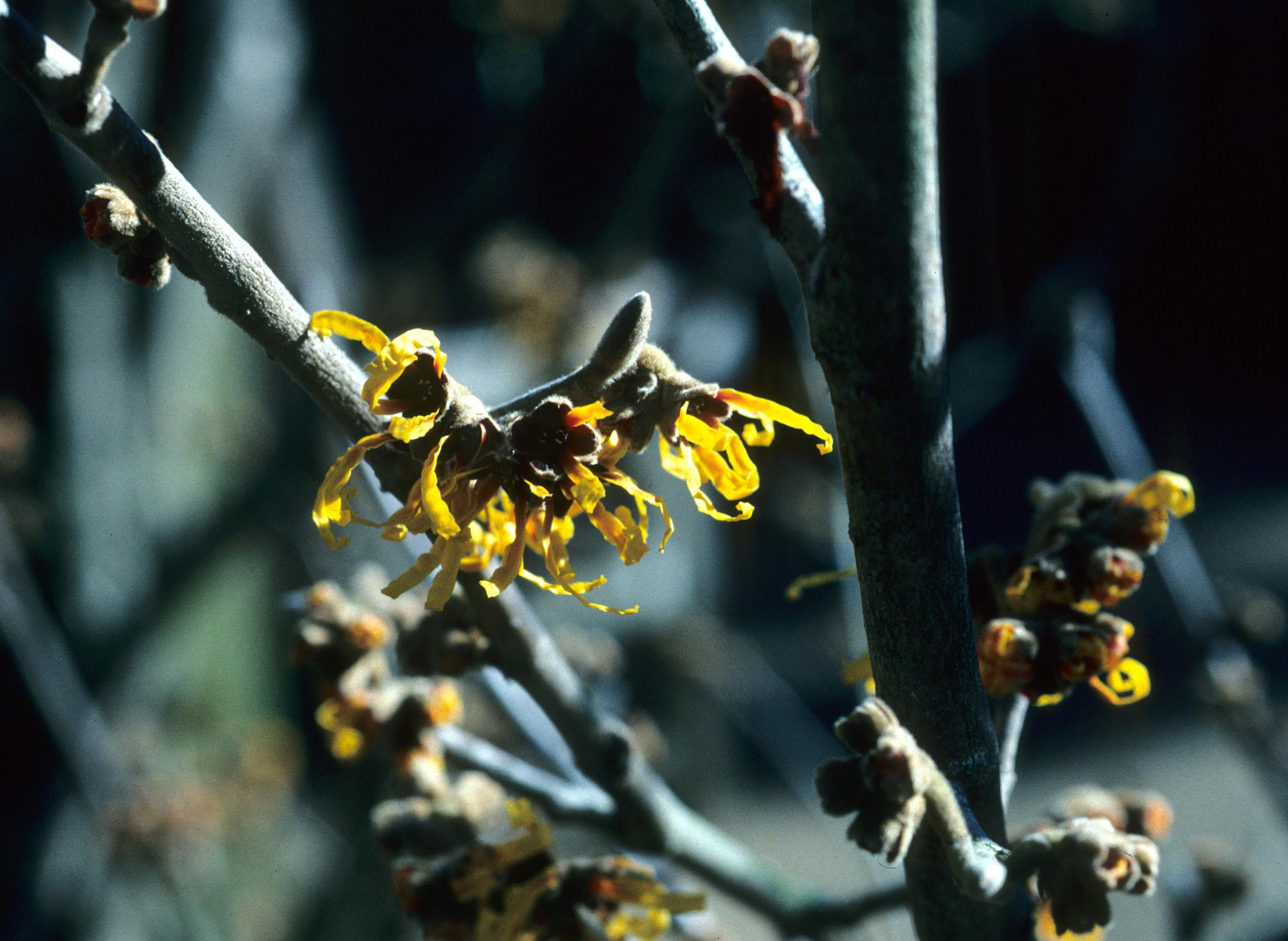 Witch hazel produces small but unique flowers with narrow, strap-like, crinkled petals.